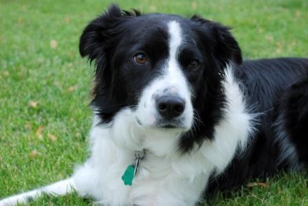 Training Your Border Collie