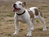 Pitbull dog training