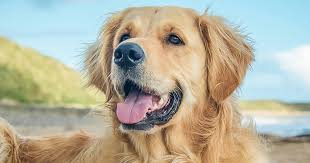 Golden Retriever The Best Dogs for Family Pets