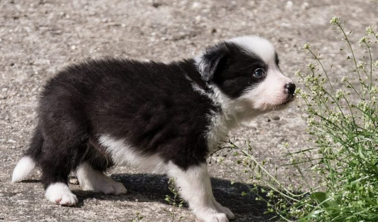Border Collie Training: What you should know before bringing a pup home